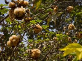 Presentan libro que destaca a Lambayeque como epicentro de cosecha y tejido del algodón peruano
