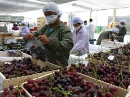 Atención empresarios: Indonesia facilita ingreso de uvas y mandarinas peruanas